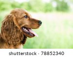 Stock photo portrait cocker spaniel 78852340