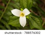 Small photo of wild wood lily