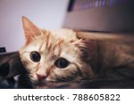 Stock photo ginger cat near the computer keyboard 788605822