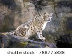 Adult Snow Leopard Resting On...