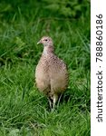 Small photo of Ring Necked Pheasant Female Phasianus colchicus