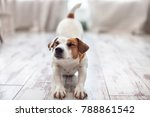 cute dog stretches at home. pet ... | Shutterstock . vector #788861542