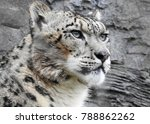 Snow Leopard Face And Head    ...