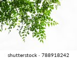 tree leaf on white background | Shutterstock . vector #788918242