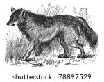 coyote or canis latrans or... | Shutterstock .eps vector #78897529