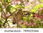 Small photo of Buffy fish owl (Ketupa ketupu) perches among the blooms of Tecoma flowers.