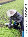 farmer harvesting kale...