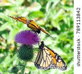 Small photo of The Monarch butterflies on a lesser burdock flower on a shore of the Lake Ontario in Toronto, Canada, September 25, 2014
