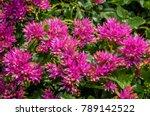 caucasian stonecrop  sedum... | Shutterstock . vector #789142522