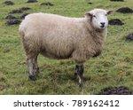 closeup of sheep on mountain ...