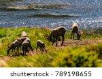 Big Horn Sheep Grazing Near The ...
