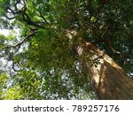 big trees over 100 years old | Shutterstock . vector #789257176