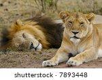 african lions | Shutterstock . vector #7893448