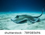 common stingray swimming on the ... | Shutterstock . vector #789385696