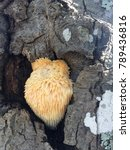Small photo of Lions Mane Mushroom, Carolina Beach State Park, growing on tree along trail