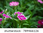 dianthus flower  sweet william