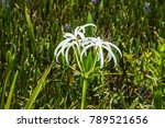 swamp lily  crinum lily ...   Shutterstock . vector #789521656