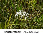 swamp lily  crinum lily ...   Shutterstock . vector #789521662
