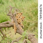 a group of lion cubs hanging... | Shutterstock . vector #789548476