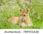 closeup of a  lion cub in the... | Shutterstock . vector #789551638