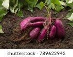 sweet potato produce put on... | Shutterstock . vector #789622942