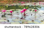 beautiful pink lotus flowers in ... | Shutterstock . vector #789628306