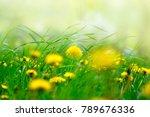 yellow dandelion flowers in... | Shutterstock . vector #789676336