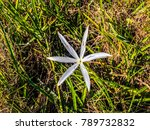 swamp lily  crinum lily ...   Shutterstock . vector #789732832