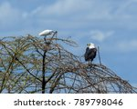 the african fish eagle  or to... | Shutterstock . vector #789798046
