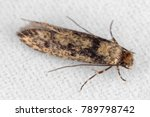 the brown dotted clothes moth...   Shutterstock . vector #789798742