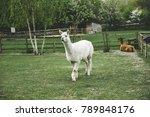 A Llama With Beautiful Eyes