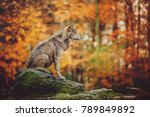 wolf sitting on the stone in... | Shutterstock . vector #789849892