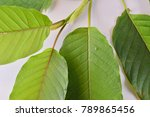 mitragyna speciosa  commonly... | Shutterstock . vector #789865456