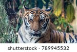 biggest tiger in thailand | Shutterstock . vector #789945532