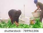Small photo of Phetchabun,Thailand 6, 2018: Lettuce farm workers begin early in the morning