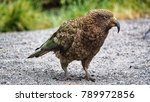Small photo of Portrait close up, Kea birds are in decline and are classes as a vulnerable species. New zealand parrot.