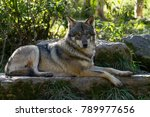 Small photo of Grey Wolf Animal