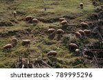Herd Of Sheep On The Mountain ...