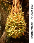 Bunch Of Ripening Dates On A...