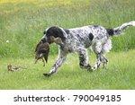 English Setter   Hunting Dog