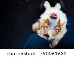 Small photo of Red merle australian shepherd puppy portrait. Dog with beautiful colorful magic eyes.
