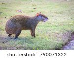 Small photo of Agouti agoutis or Sereque rodent on green grass. Rodents of the Caribbean.