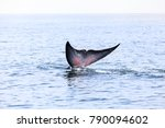 bryde's whale  eden's whale ... | Shutterstock . vector #790094602