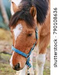 Small photo of Close-up picture of shetland pony with ginger (red) hair, white spot on forehead and black mane with blue halter