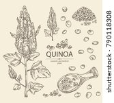 collection of quinoa  plant and ... | Shutterstock .eps vector #790118308