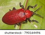 Small photo of Coraliomela brunnea (Chrysomelidae: Cassidinae: Alurnini, ant. Hispinae)