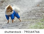 the wear  aggressive spitz dog... | Shutterstock . vector #790164766