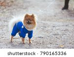 the wear  aggressive spitz dog... | Shutterstock . vector #790165336