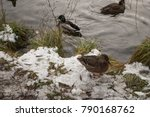 Duck Standing In A Pond On A...