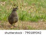 Female california quail profile ...